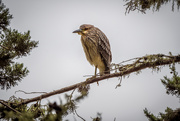 17th Oct 2020 - Young Black-crowned Nigh-heron