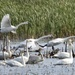 Swan activity