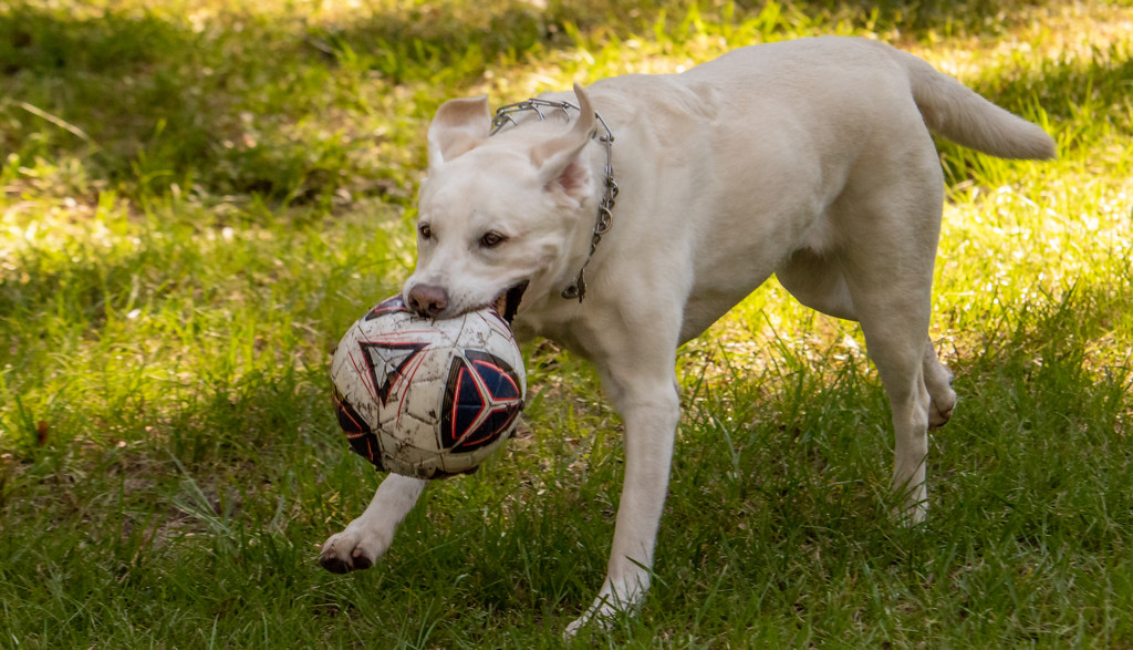 Happy Dog with It's Soccer Ball! by rickster549