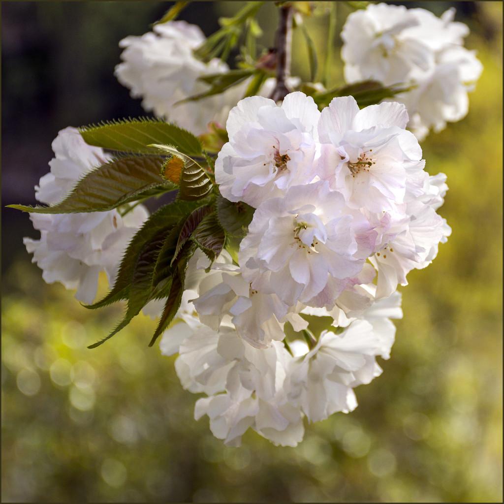 Blossom by nickspicsnz