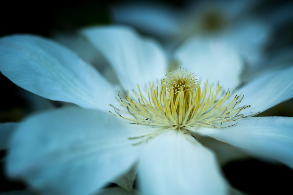 White clematis by maureenpp