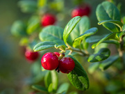 17th Oct 2020 - Lingonberry
