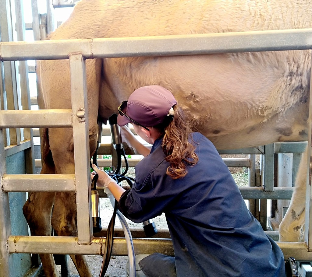 This is a camel being milked by a milking machine by 777margo