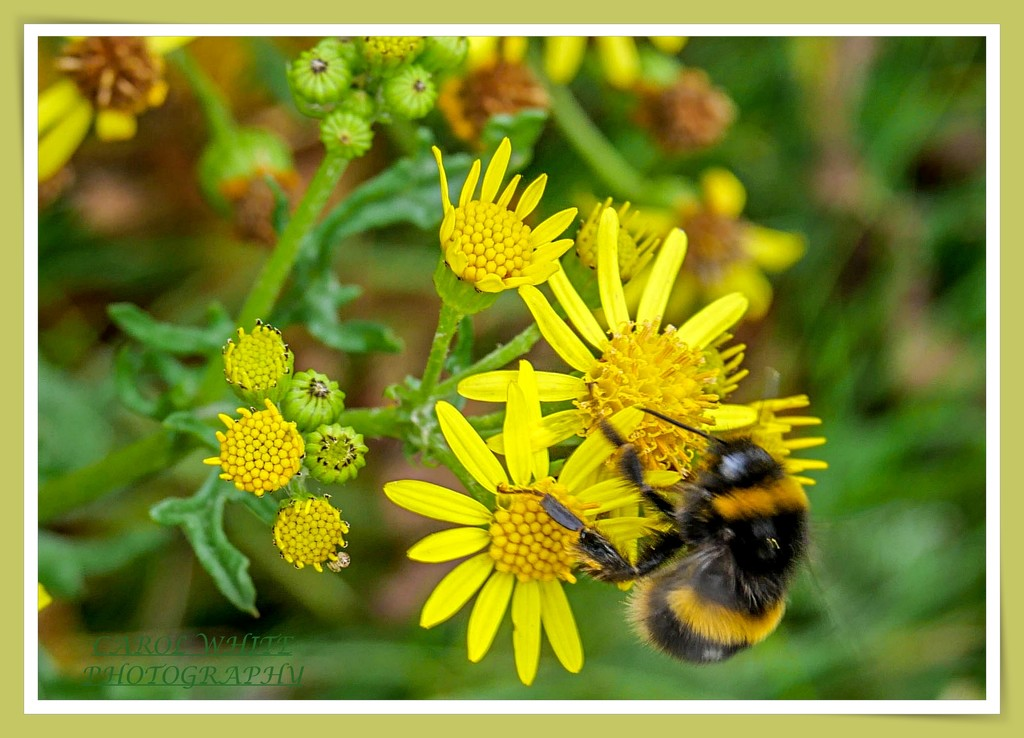 Still Busy Collecting Pollen by carolmw