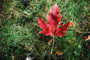 18th Oct 2020 - Maple Leaf turns color