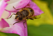 18th Oct 2020 - Blinde bij (Eristalis tenax, the common drone fly)