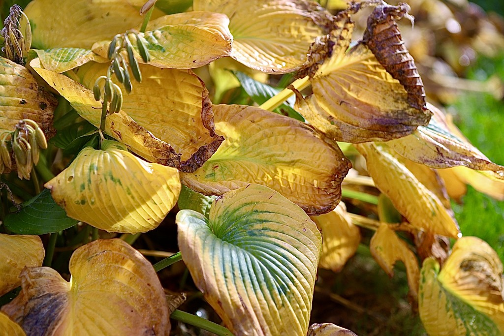 Hosta Leaves by carole_sandford