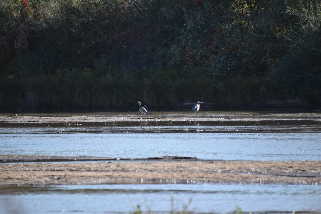 Two Great Blue Herons by bigdad