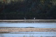 19th Oct 2020 - Two Great Blue Herons
