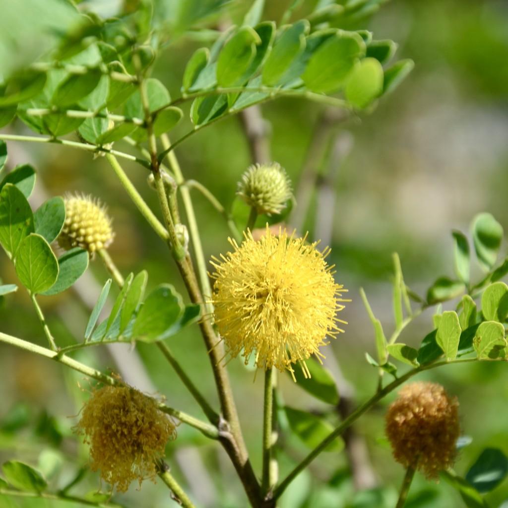 Sweet Acacia flowers  by louannwarren