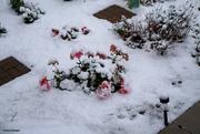 18th Oct 2020 - Snow on the geranium