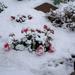 Snow on the geranium