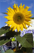 18th Oct 2020 - Late Sunflower