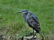 18th Oct 2020 - Heron