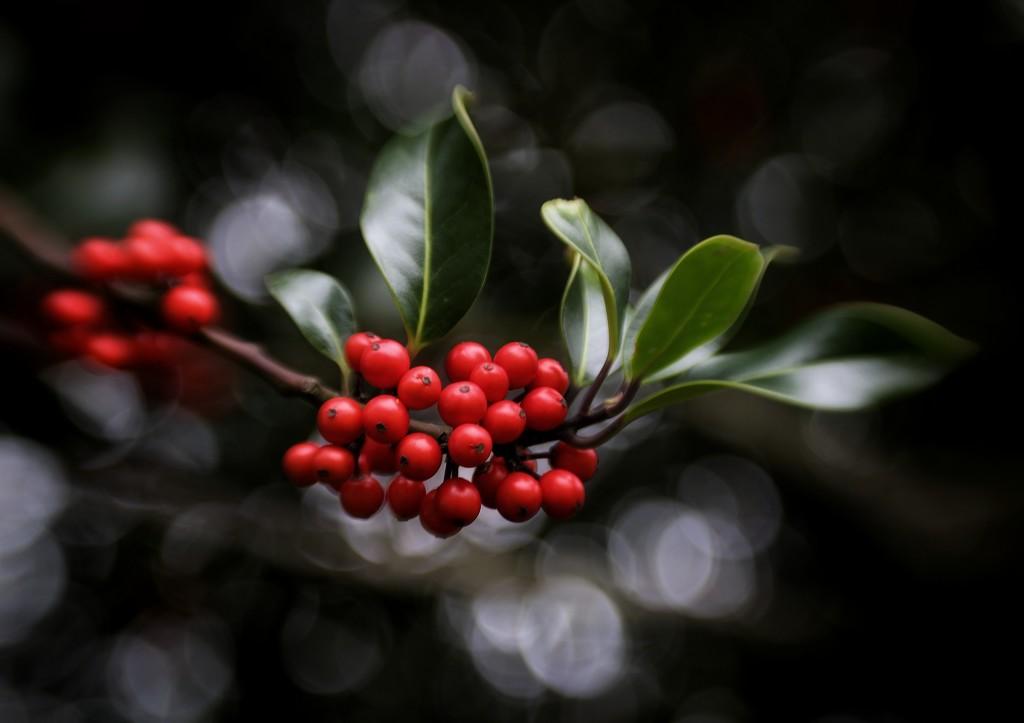 Holly Berries And Bokeh by motherjane