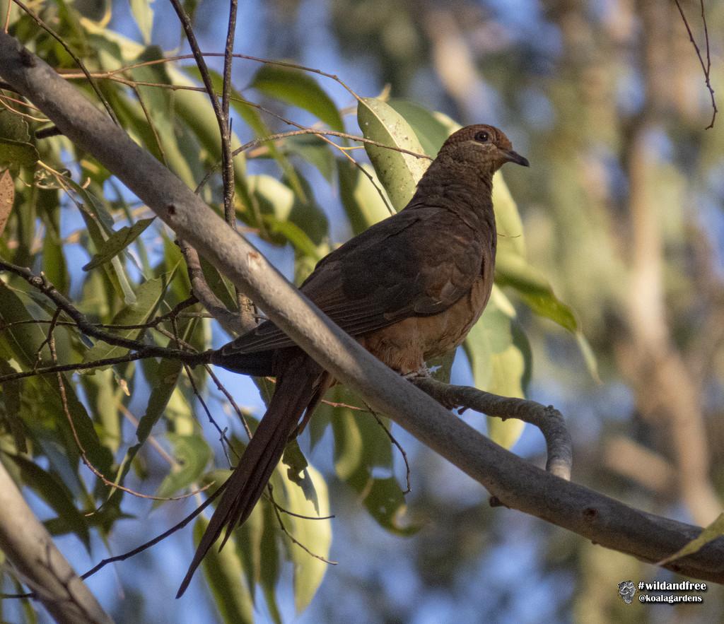 Brown Cuckoo Dove by koalagardens