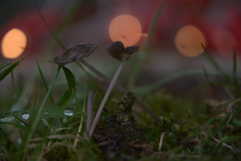 Bokeh, droplets and tiny fungi........... by ziggy77