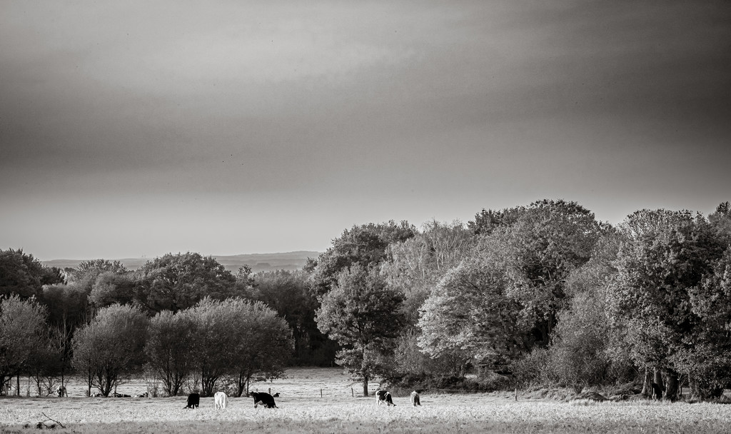 Grazing Cattle... by vignouse