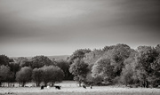18th Oct 2020 - Grazing Cattle...