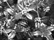 19th Oct 2020 - Holly, greenbrier and cobwebs...
