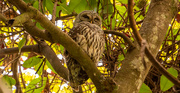 18th Oct 2020 - Barred Owl Snoozing Away!
