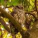 Barred Owl Snoozing Away!