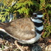 Killdeer Bird and Egg
