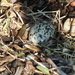 Killdeer Egg