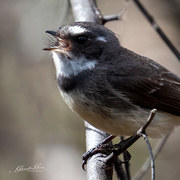 17th Oct 2020 - Grey fantail