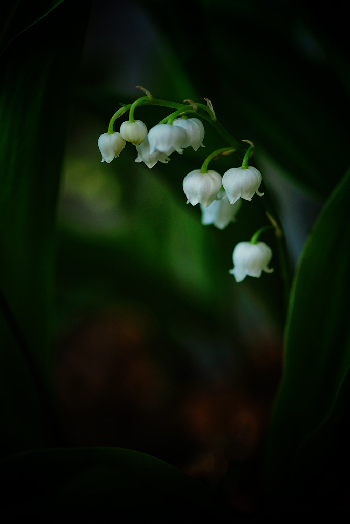 Lily of the valley by maureenpp