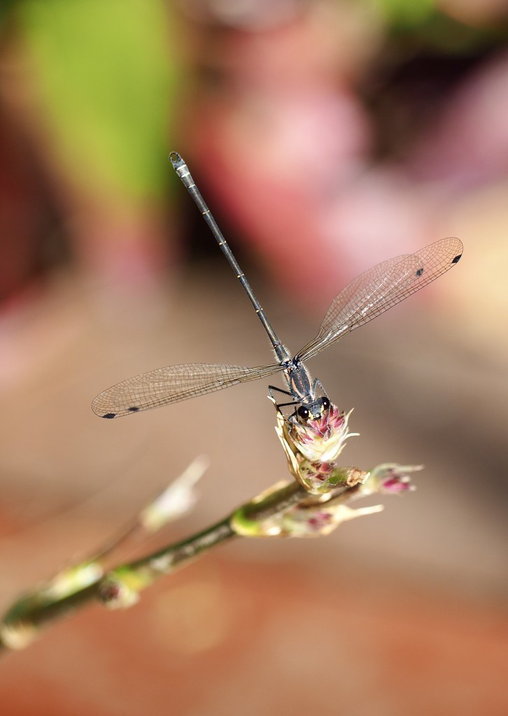 Delicate Dragonfly by sabine