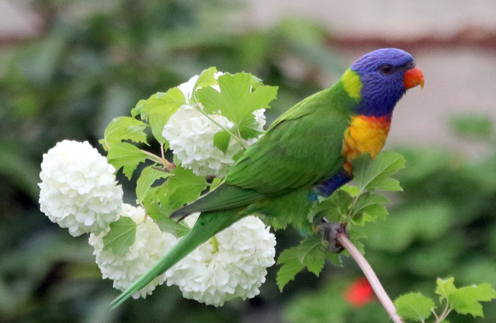 "A ""snow"" lorikeet by gilbertwood"
