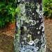 Tree Trunk & Lichen ~