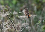 18th Oct 2020 - Mrs Stonechat