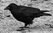 14th Oct 2020 - Crow