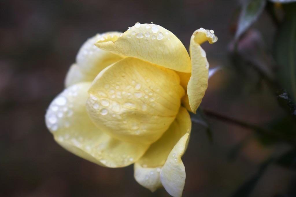 Raindrop Rose by sandlily