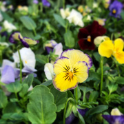 19th Oct 2020 - Violas