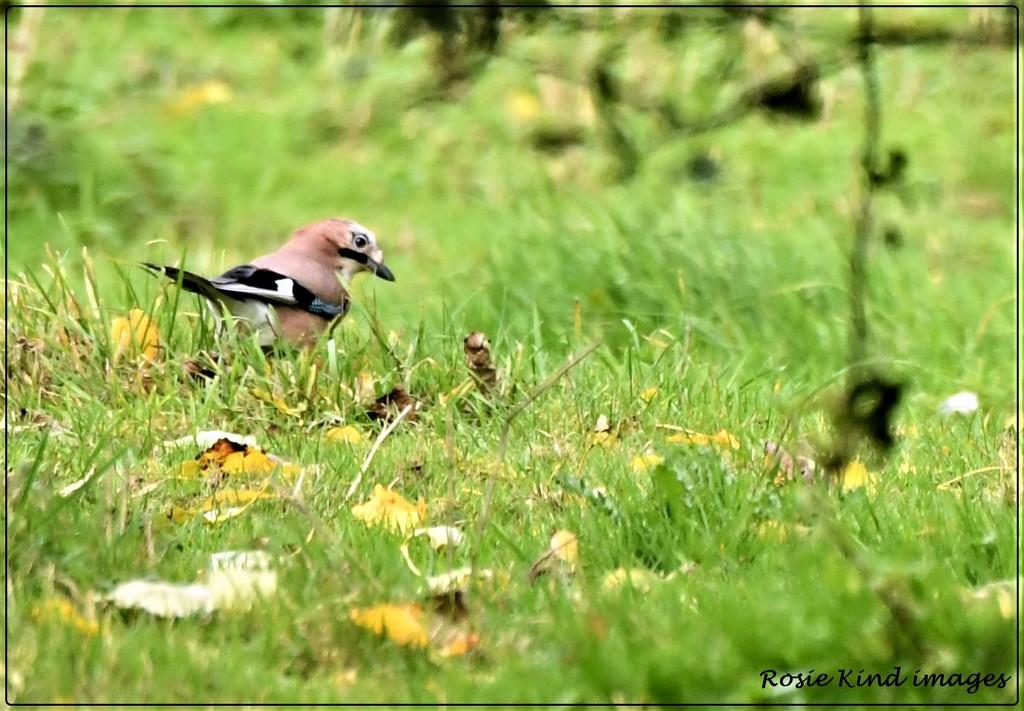 Jay bird by rosiekind