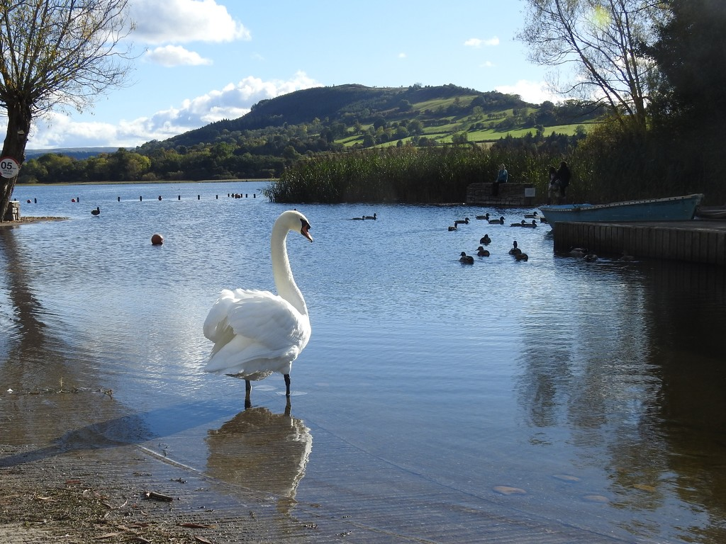 Swan at Llangorse  by susiemc