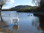 15th Oct 2020 - Swan at Llangorse