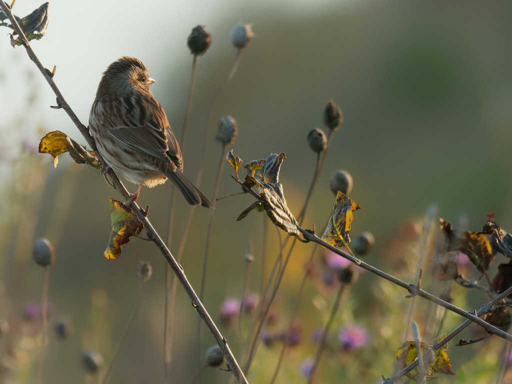 Song sparrow looks out on the autumn prairie  by rminer