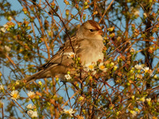 19th Oct 2020 - White-crowned sparrow