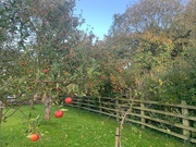 19th Oct 2020 - The Apple orchard