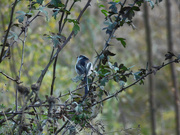 19th Oct 2020 - Long Tailed Tit
