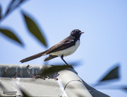 18th Oct 2020 - Willie Wagtail