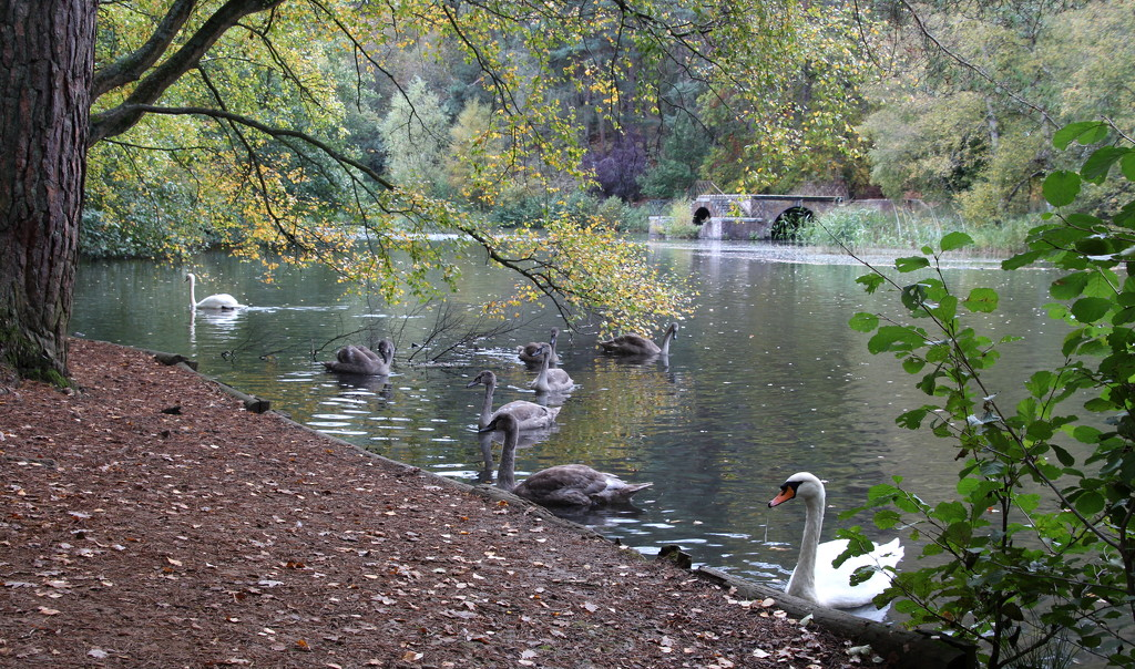 Swans on the lake by busylady