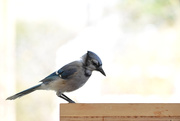 15th Oct 2020 - Pensive Blue Jay