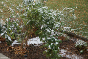 19th Oct 2020 - Snow and tomato plants