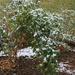 Snow and tomato plants