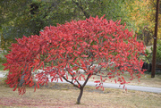 16th Oct 2020 - Height of Its Autumn Glory